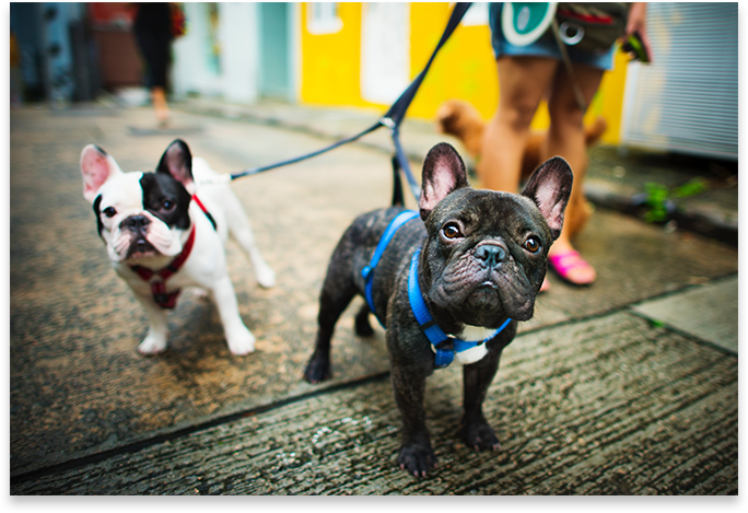 Dogs on leash.